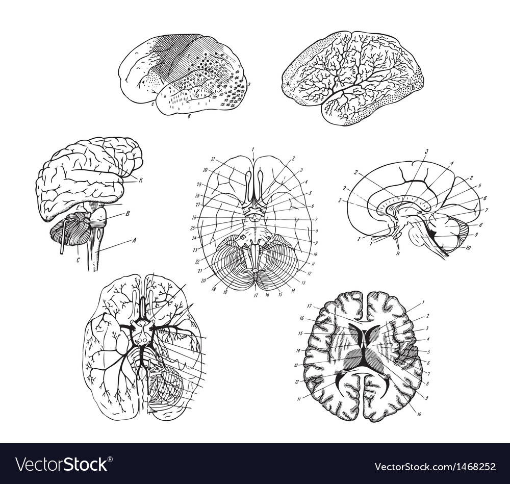 Human brains structure vector
