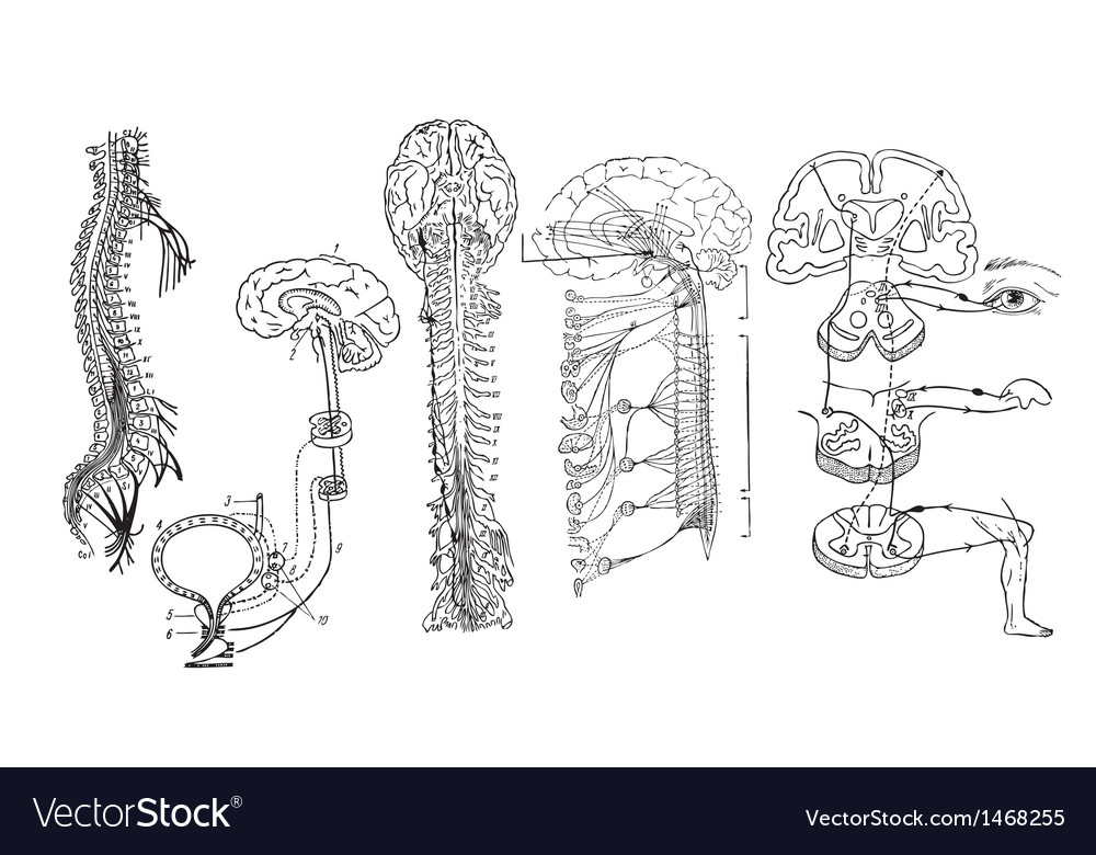 Central nervous system vector | Price: 1 Credit (USD $1)