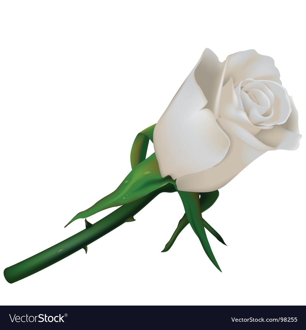 White wedding rose vector | Price: 1 Credit (USD $1)