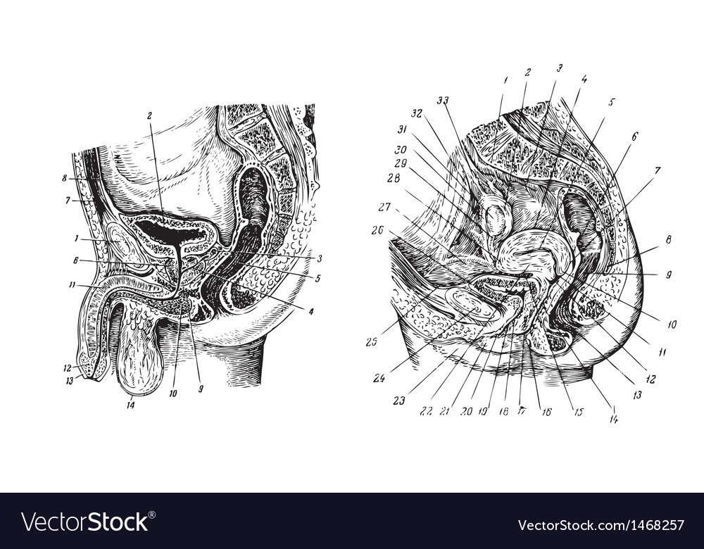 Human sex organs vector | Price: 1 Credit (USD $1)