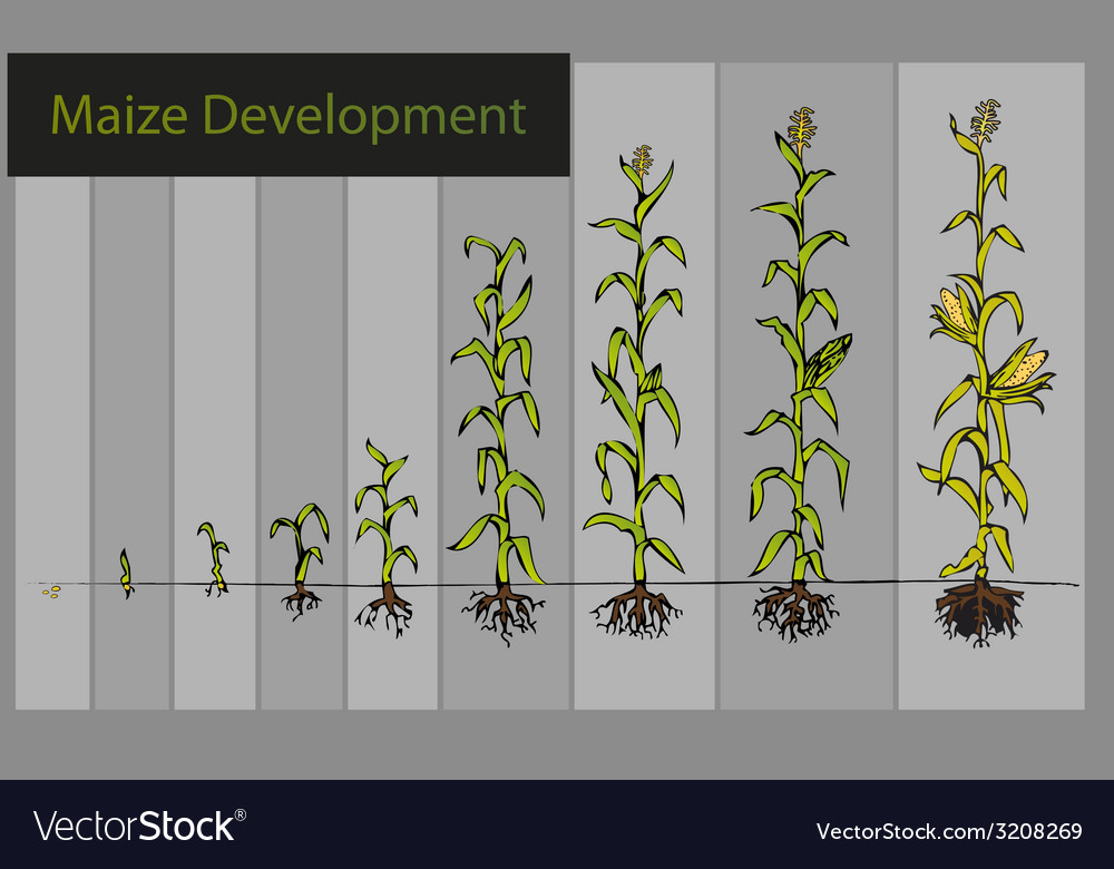 Maize development diagram - stages of growth vector | Price: 1 Credit (USD $1)