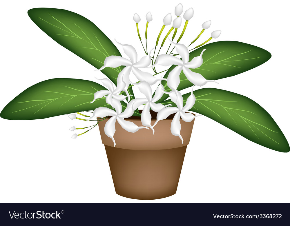 Beautiful white cape jasmine a terracotta pot vector | Price: 1 Credit (USD $1)