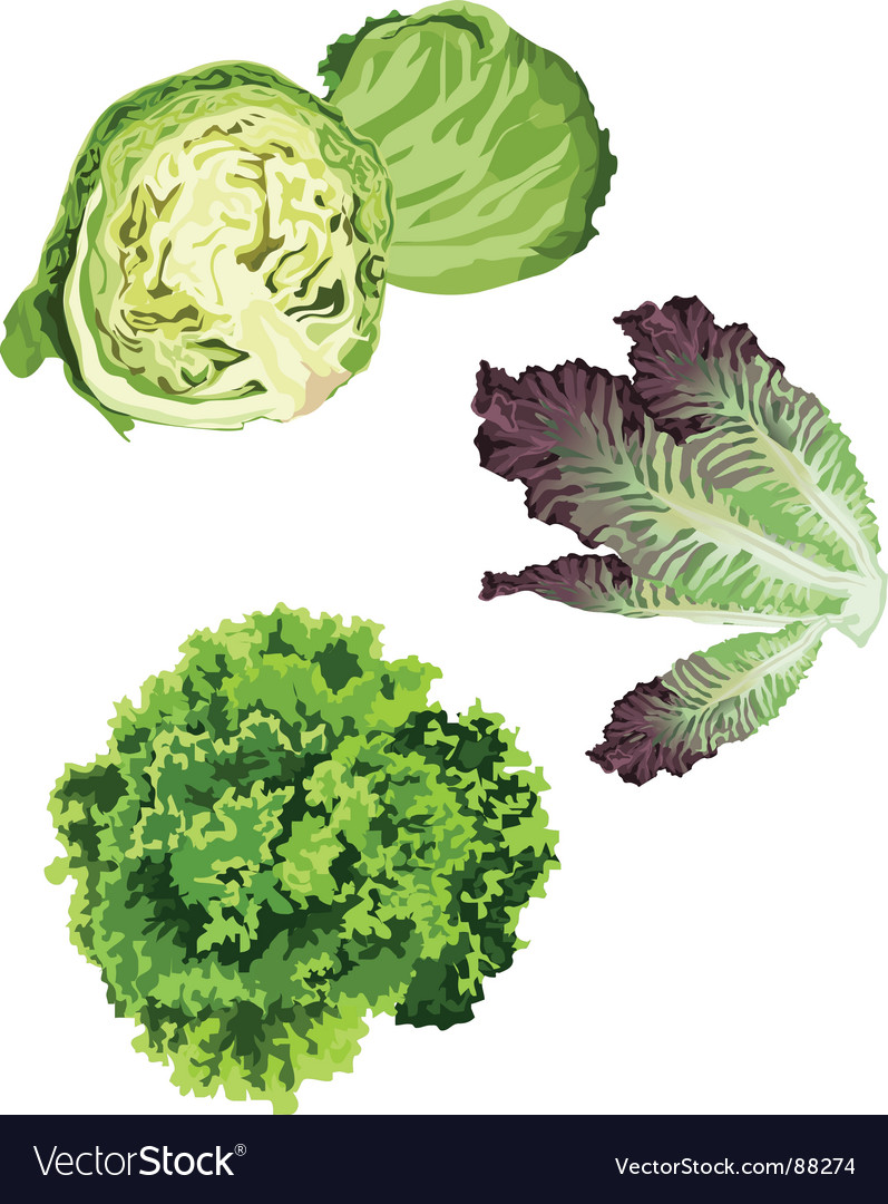 Lettuce vector | Price: 1 Credit (USD $1)