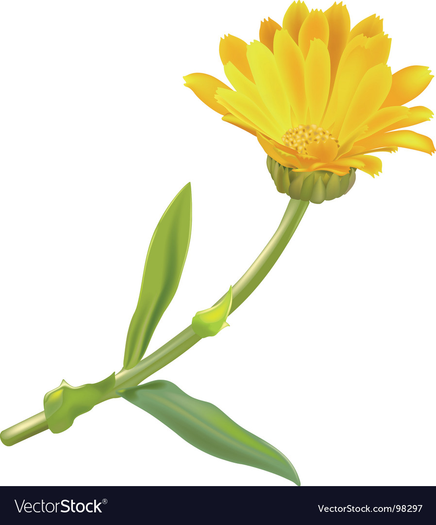 Marigold vector   Price: 1 Credit (USD $1)