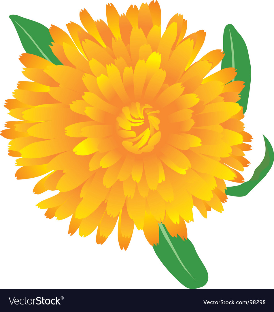 Marigold flower vector | Price: 1 Credit (USD $1)