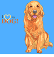Dog breed golden retriever sitting on the blue bac vector