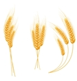 Ripe ears wheat set isolated detailed template vector