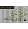 Maize development diagram - stages of growth vector