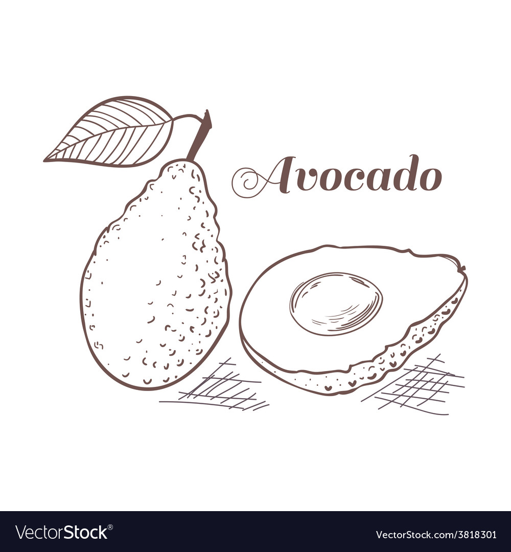 Engraving style avocado vector | Price: 1 Credit (USD $1)