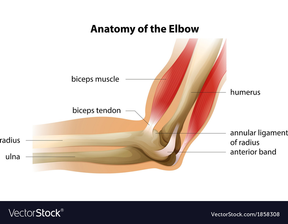 Anatomy of the elbow vector | Price: 1 Credit (USD $1)