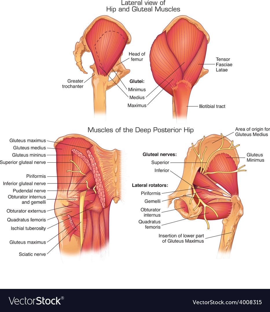 Muscles of deep posterior hip vector | Price: 3 Credit (USD $3)