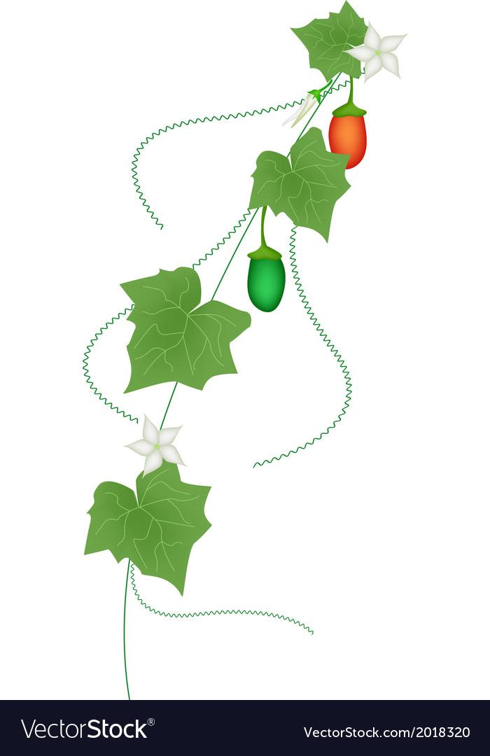 Fresh green coccinia grandis on white background vector | Price: 1 Credit (USD $1)