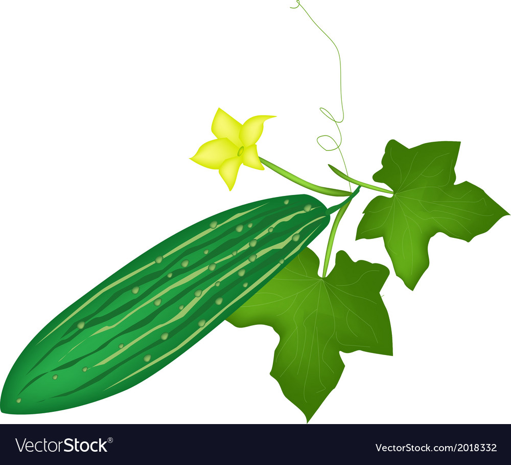 Fresh green marrow plant on white background vector | Price: 1 Credit (USD $1)