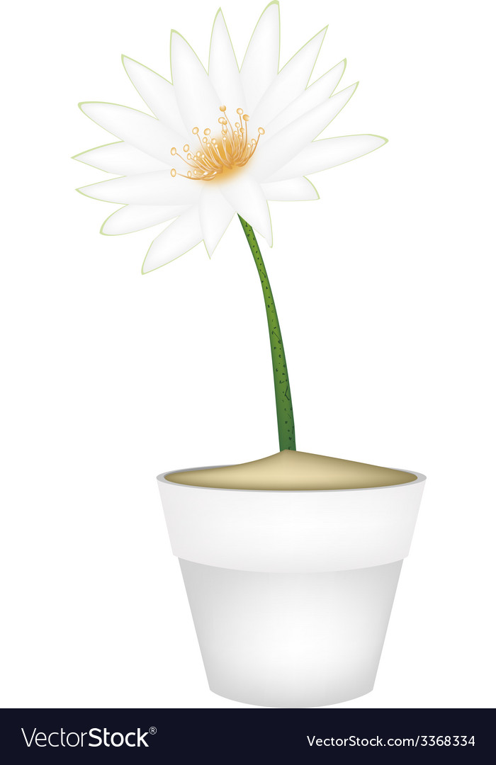 White lotus flower in a ceramic pot vector | Price: 1 Credit (USD $1)