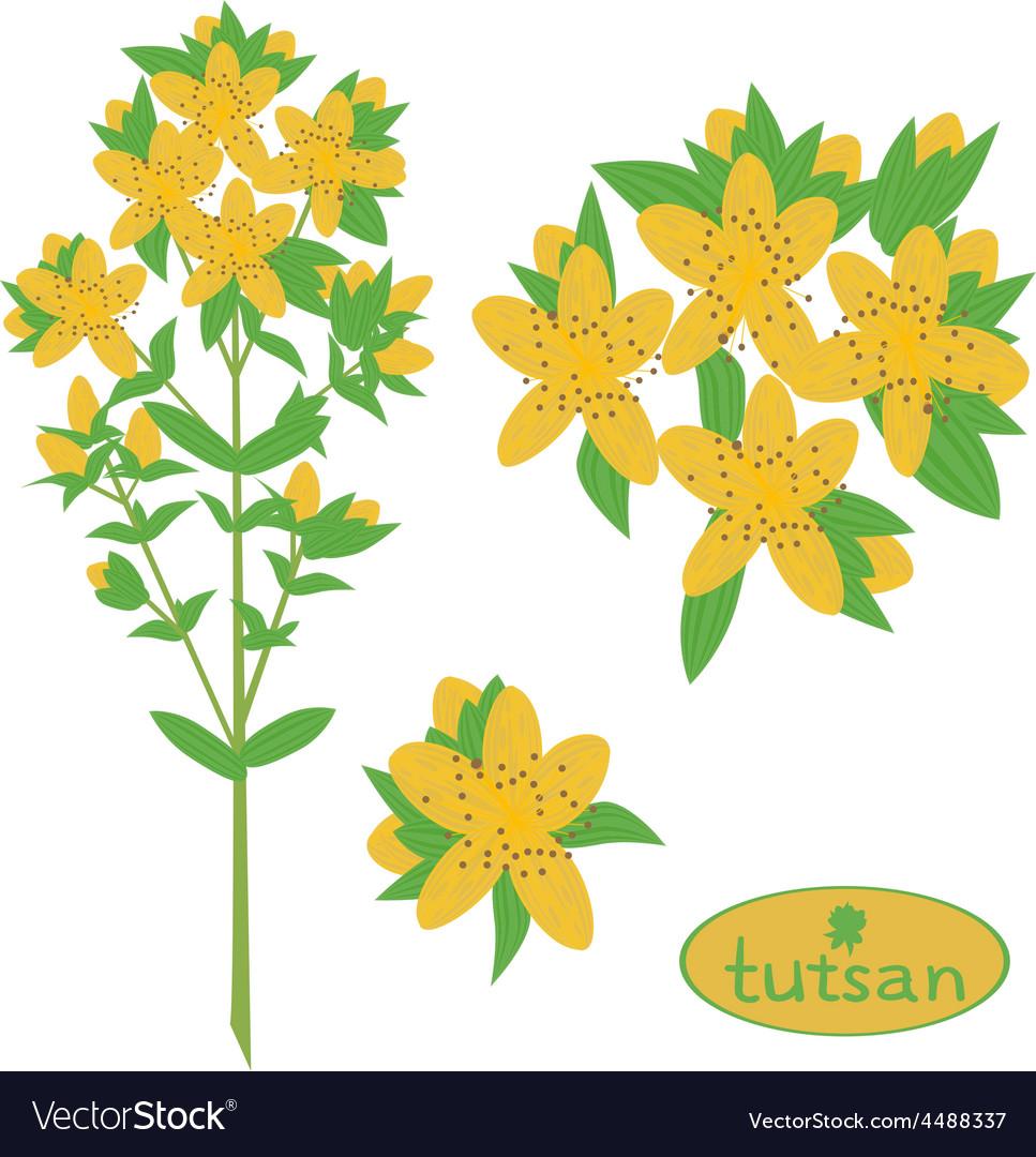Tutsan medicinal plant vektor vector | Price: 1 Credit (USD $1)