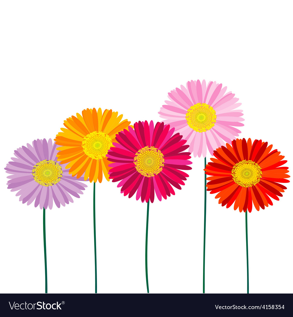Gerber daisy isolated on white background vector | Price: 1 Credit (USD $1)