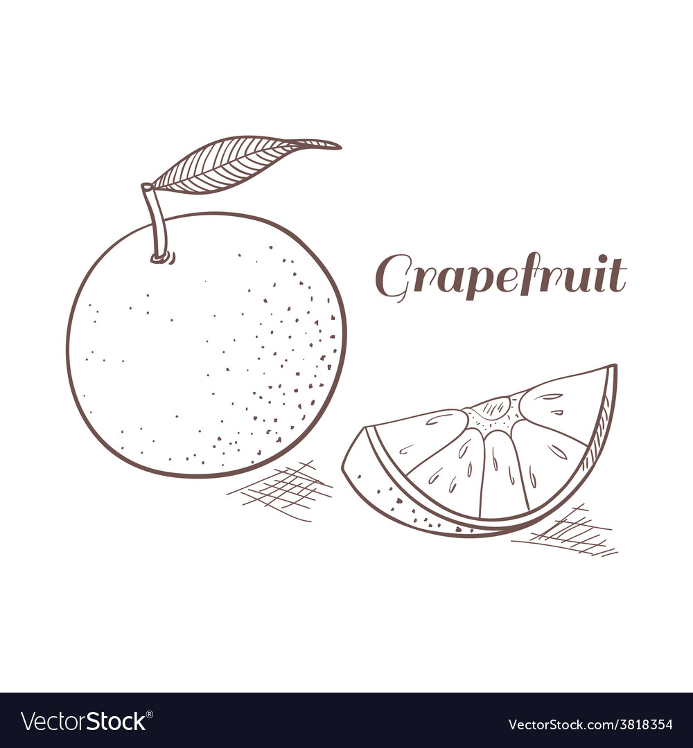 Grapefruit in engraving design vector | Price: 1 Credit (USD $1)