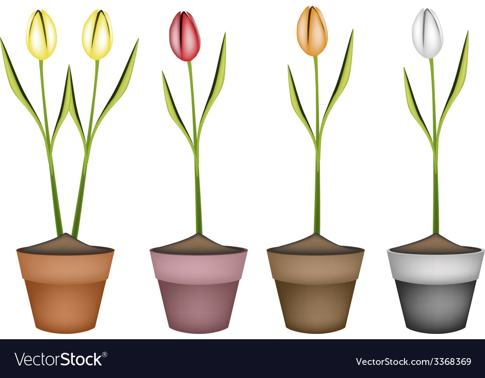 Fresh tulip flowers in four ceramic pots vector | Price: 1 Credit (USD $1)