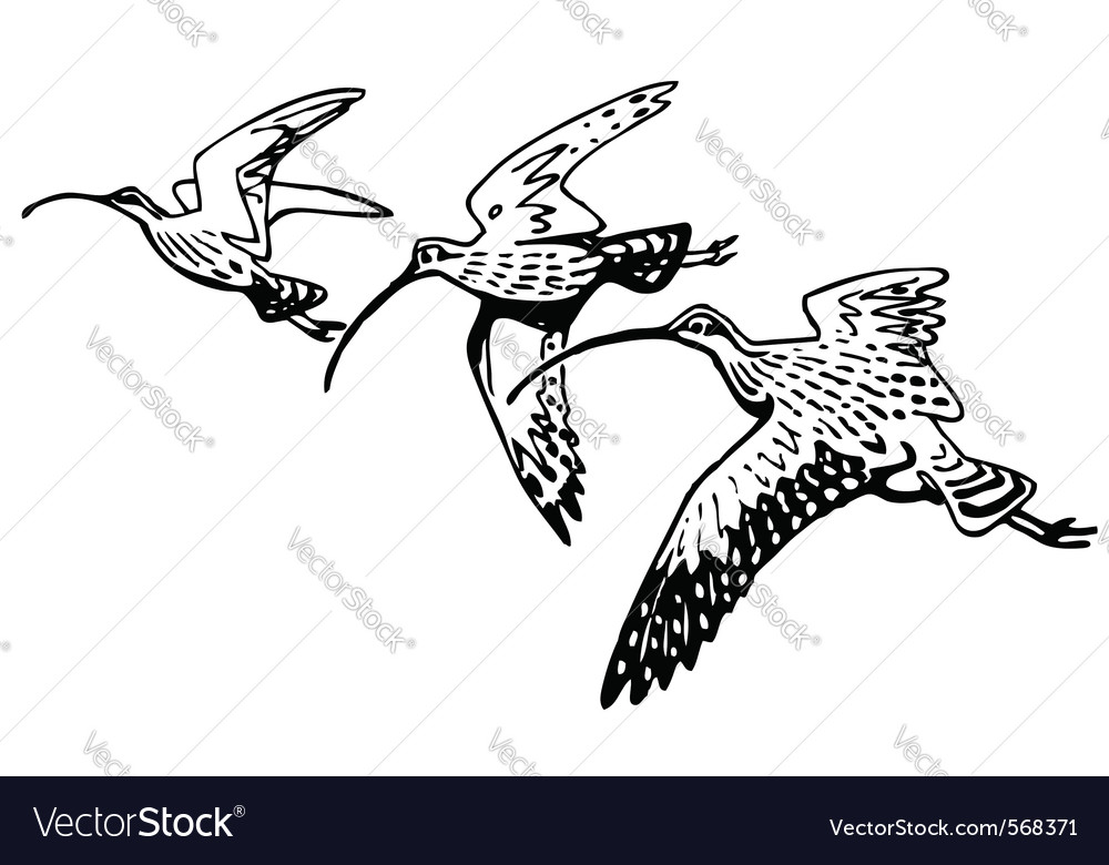 Curlew sandpiper vector | Price: 1 Credit (USD $1)
