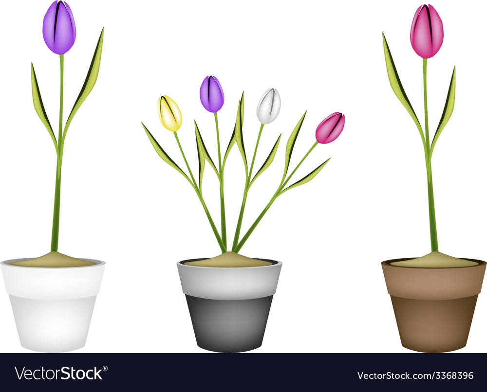 Fresh tulip flowers in three ceramic pots vector | Price: 1 Credit (USD $1)