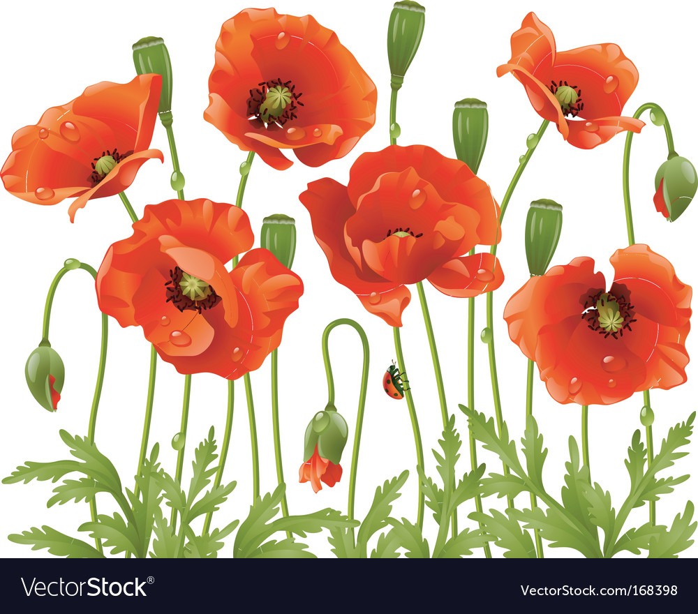 Spring flowers poppy vector | Price: 3 Credit (USD $3)