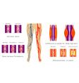 Vascular system legs vector