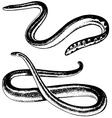 Snakes vector
