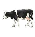 The white and black cow is grazed vector