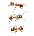 Red ants isolated on white background vector