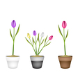 Fresh tulip flowers in three ceramic pots vector