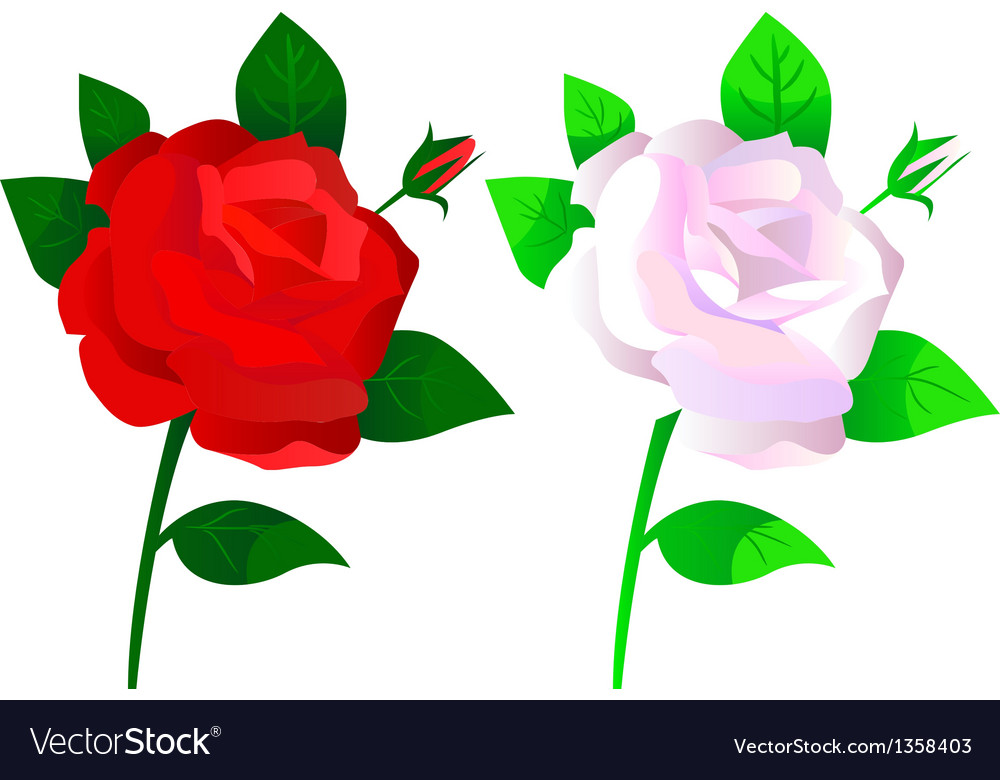 Roses red and white vector