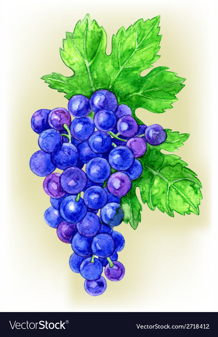 Branch of grapes draw watercolor vector | Price: 1 Credit (USD $1)
