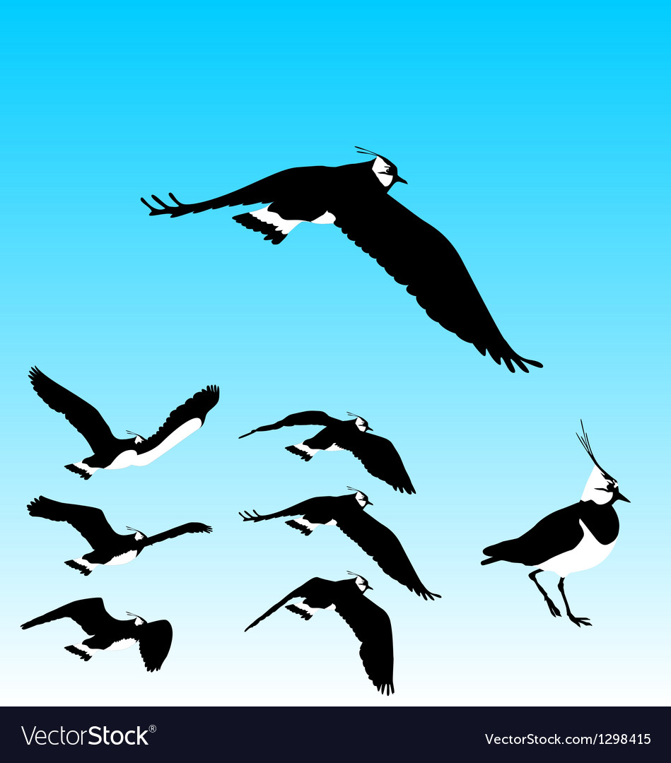 Flying plover sequence vector | Price: 1 Credit (USD $1)