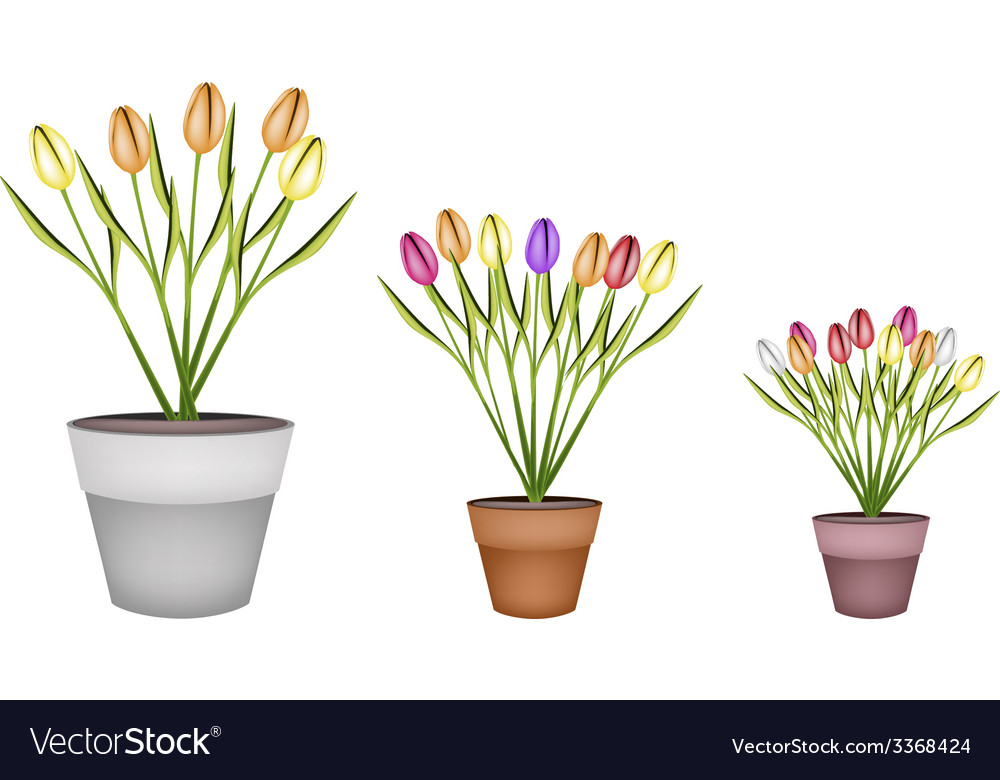 Fresh tulip flowers in three terracotta pots vector | Price: 1 Credit (USD $1)