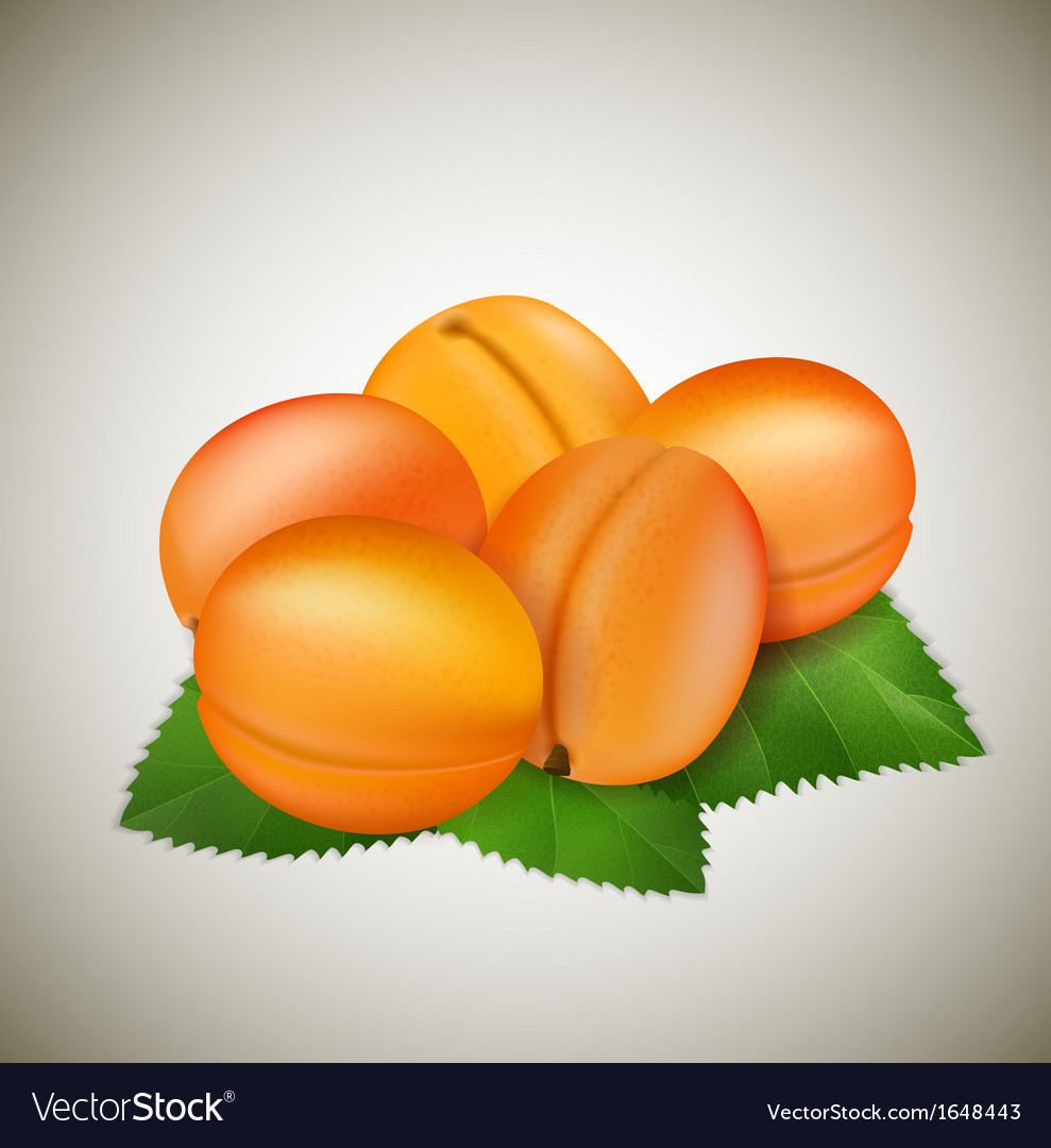 Apricots with leaves vector | Price: 1 Credit (USD $1)