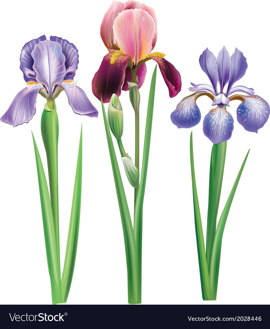 Flowers of iris vector | Price: 1 Credit (USD $1)