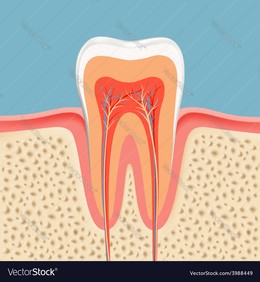 Human tooth in a cut vector | Price: 1 Credit (USD $1)