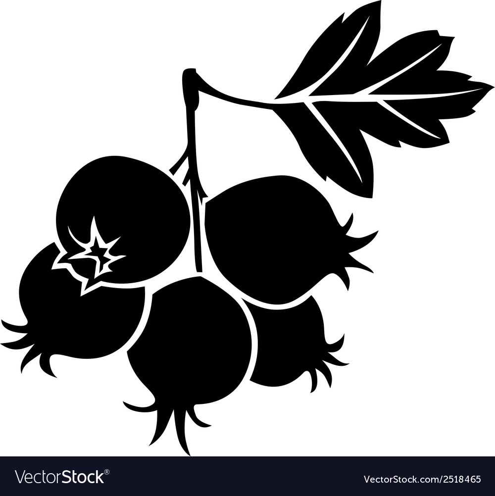 Hawthorn berries vector | Price: 1 Credit (USD $1)