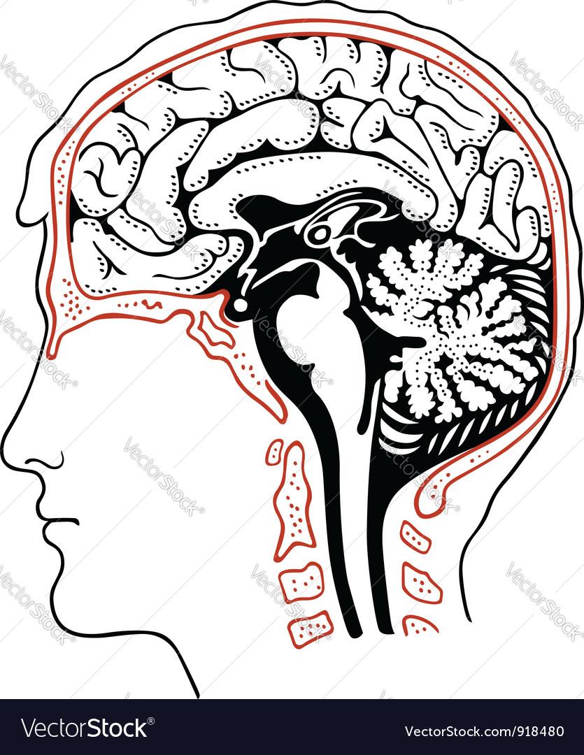 Human brain vector   Price: 1 Credit (USD $1)