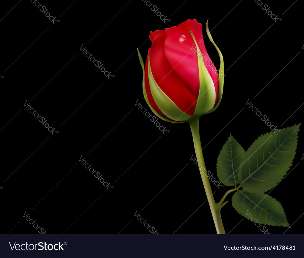 Red rose on a black background vector | Price: 3 Credit (USD $3)