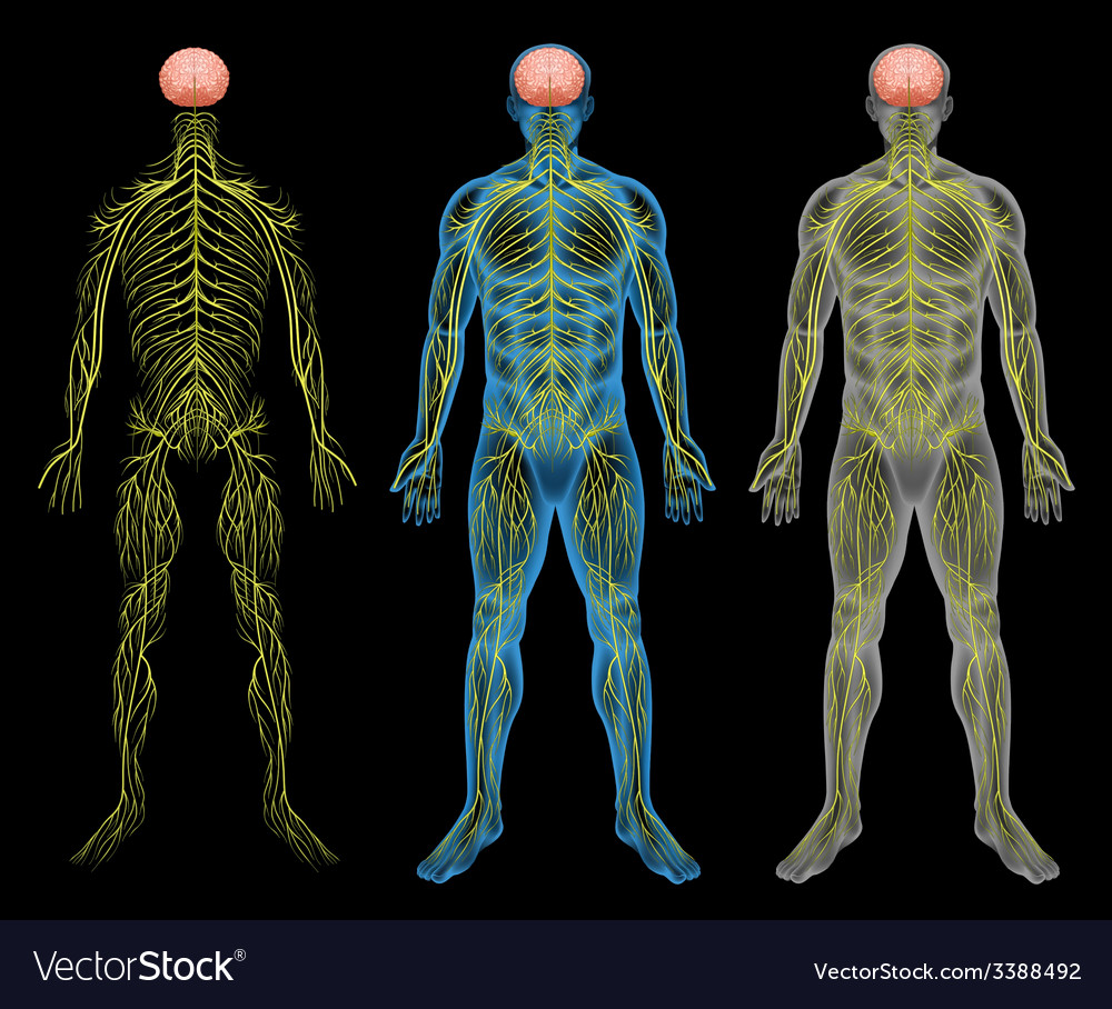The nervous system vector | Price: 1 Credit (USD $1)