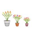 Fresh tulip flowers in three terracotta pots vector