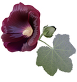 Claret mallow flower alcea bud and leaf vector