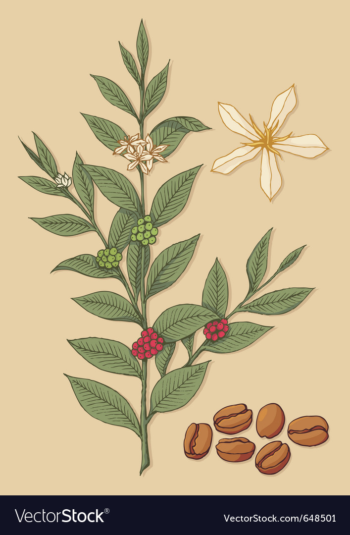 Coffee tree vector | Price: 1 Credit (USD $1)
