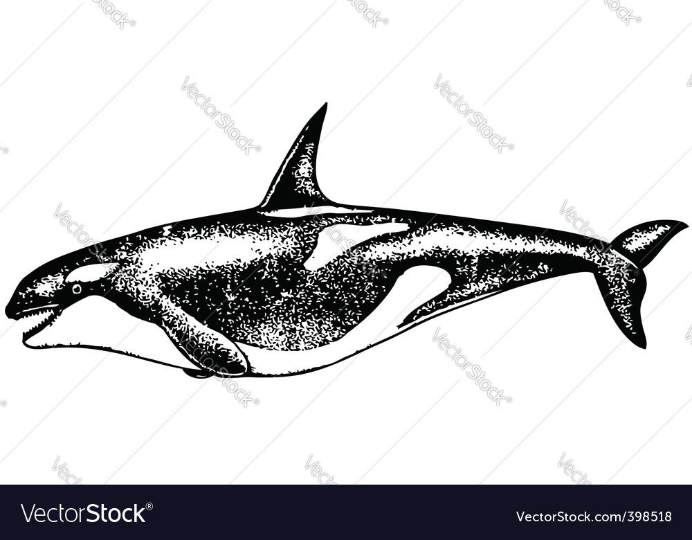 Risso dolphin vector | Price: 1 Credit (USD $1)