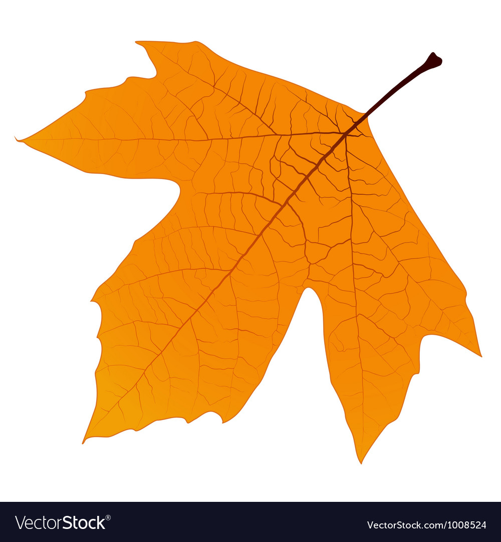 Sycamore autumn leaf vector | Price: 1 Credit (USD $1)