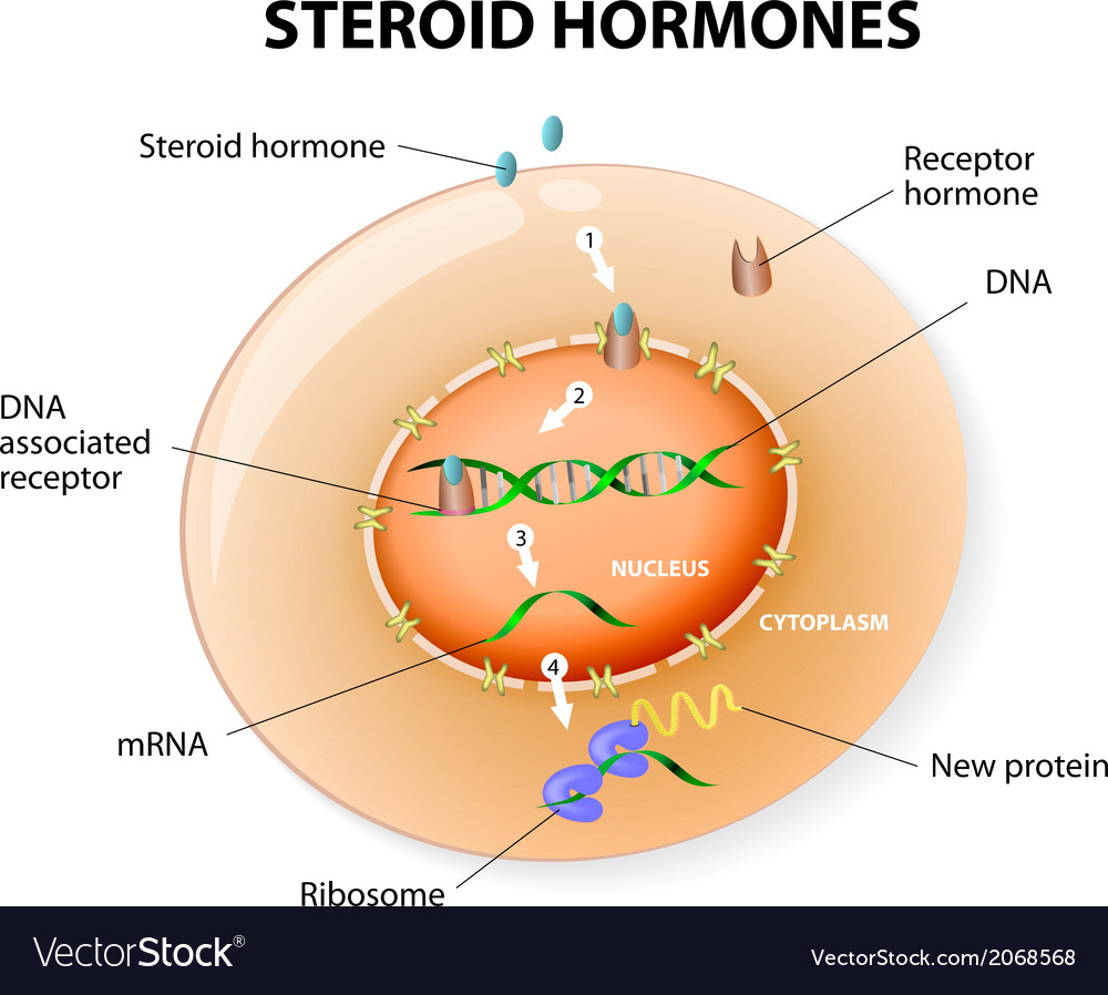Steroid hormones vector | Price: 1 Credit (USD $1)