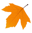 Sycamore autumn leaf vector