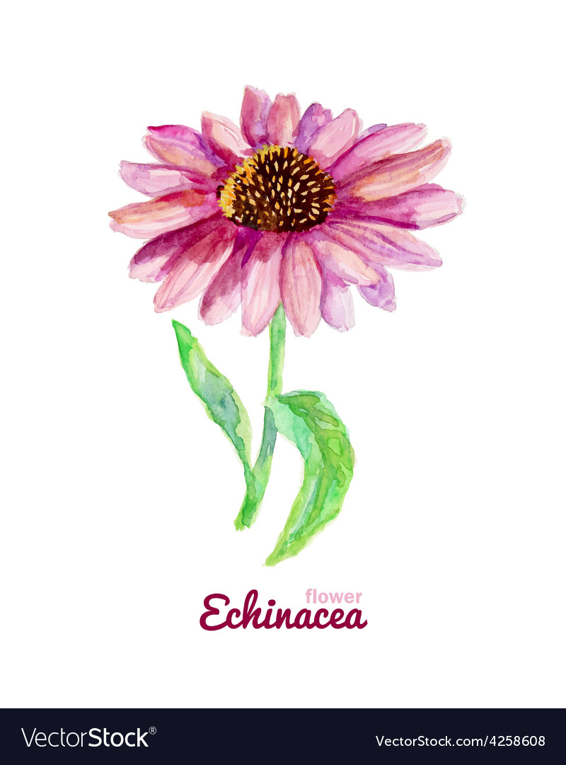 Watercolor medicinal flower of echinacea vector | Price: 1 Credit (USD $1)