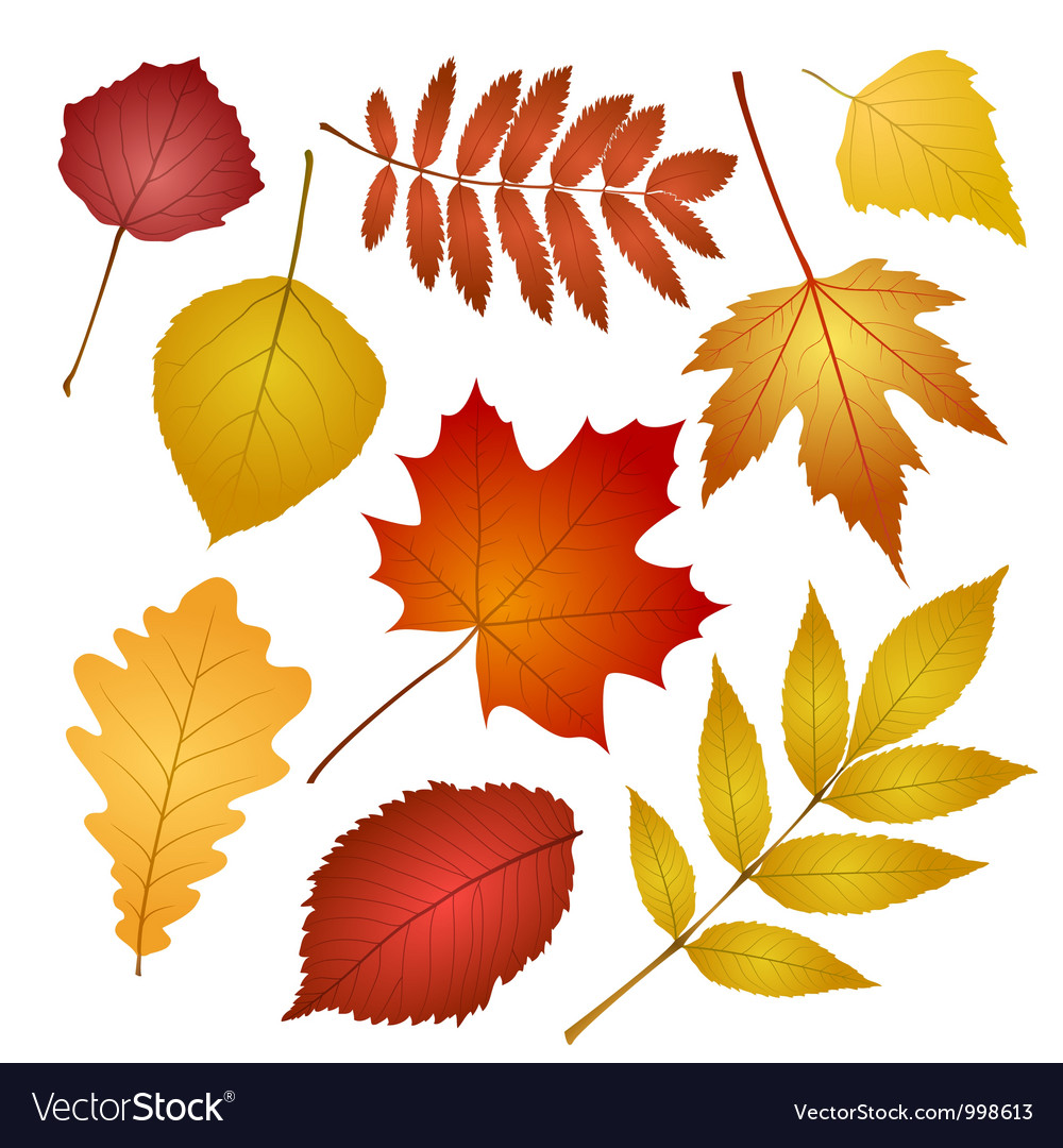Autumn leaves isolated on white background vector | Price: 1 Credit (USD $1)